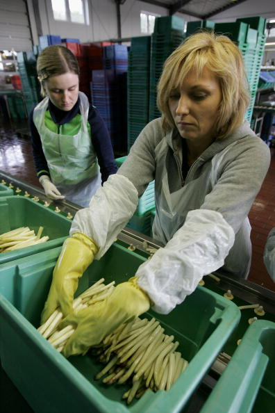 Asparagus「Asparagus Harvest Draws Seasonal Workers」:写真・画像(12)[壁紙.com]