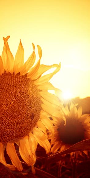 ひまわり「温かみのある赤 suflower」:スマホ壁紙(19)