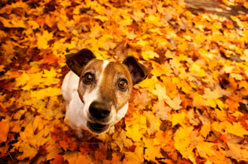 Maple Leaf「Dog in Autumn leaves」:スマホ壁紙(1)