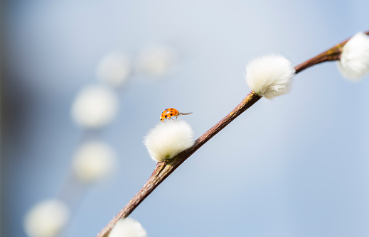 Love fortune「Pussy willow, Salix, with ladybird」:スマホ壁紙(8)