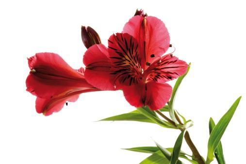 Alstroemeria「Peruvian Lily, Alstroemeria, close-up」:スマホ壁紙(16)