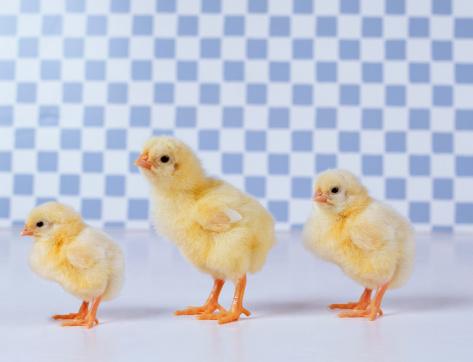 イースター「Three Chicks Standing in a Line」:スマホ壁紙(4)