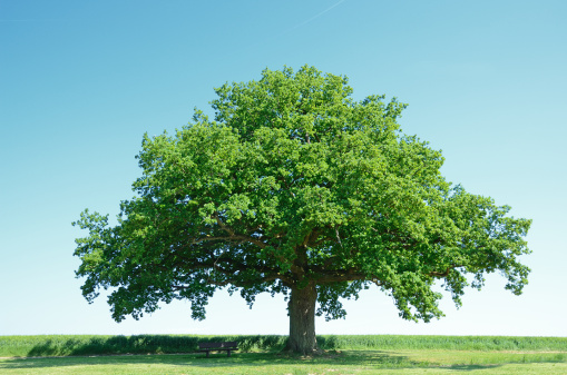 Single Tree「Large oak tree in a green barley field」:スマホ壁紙(3)
