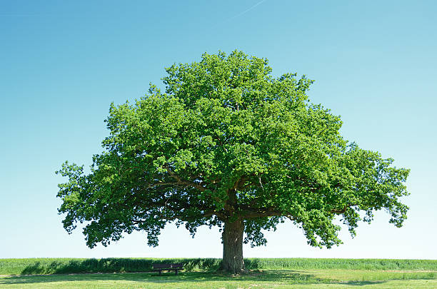 Large oak tree in a green barley field:スマホ壁紙(壁紙.com)