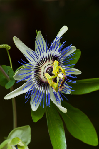 Passion Fruit「Passion Flower (Passiflora) with striking flowers」:スマホ壁紙(12)