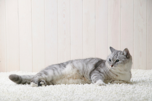 Mixed-Breed Cat「Mixed breed cat lying down」:スマホ壁紙(11)