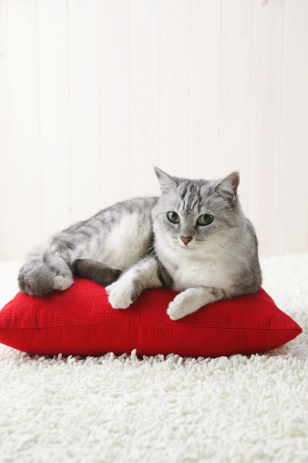 Mixed-Breed Cat「Mixed breed cat lying down」:スマホ壁紙(12)