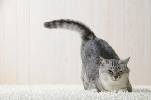 雑種のネコ「Mixed breed cat lying down」:スマホ壁紙(3)