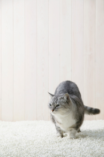 Mixed-Breed Cat「Mixed breed cat standing」:スマホ壁紙(8)