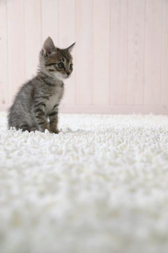 Mixed-Breed Cat「Mixed breed kitten sitting on floor」:スマホ壁紙(18)