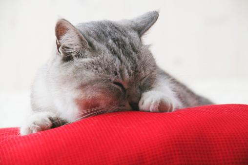 Mixed-Breed Cat「Mixed breed cat licking its paw」:スマホ壁紙(2)