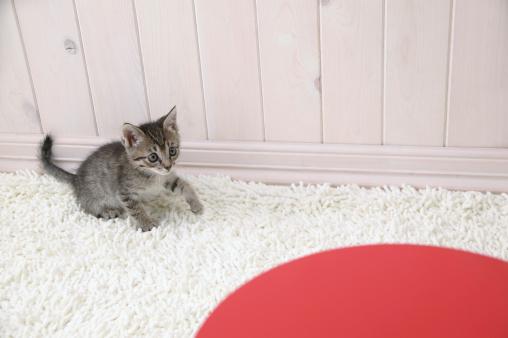 Mixed-Breed Cat「Mixed breed kitten」:スマホ壁紙(19)