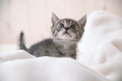 Mixed-Breed Cat「Mixed breed kitten」:スマホ壁紙(11)