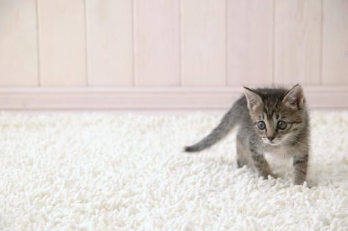Mixed-Breed Cat「Mixed breed kitten」:スマホ壁紙(12)