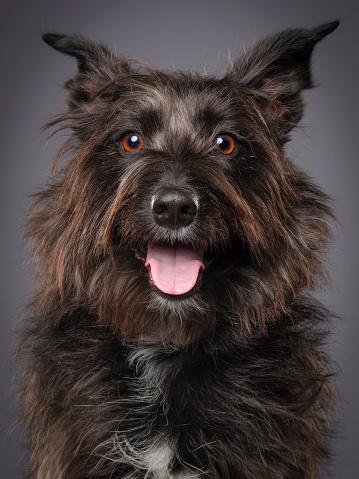 動物・ペット「スコティッシュ テリア犬の混合された品種」:スマホ壁紙(19)
