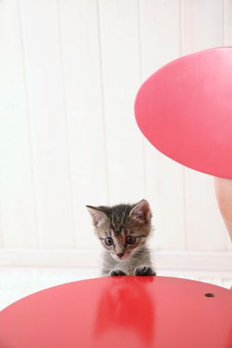 Mixed-Breed Cat「Mixed breed kitten standing」:スマホ壁紙(3)