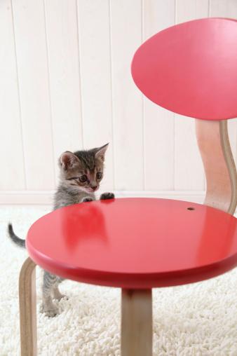 Mixed-Breed Cat「Mixed breed kitten standing」:スマホ壁紙(4)