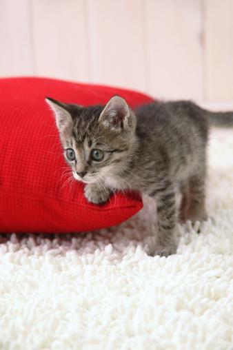 Mixed-Breed Cat「Mixed breed kitten standing」:スマホ壁紙(17)