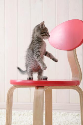 雑種のネコ「Mixed breed kitten standing on chair」:スマホ壁紙(15)
