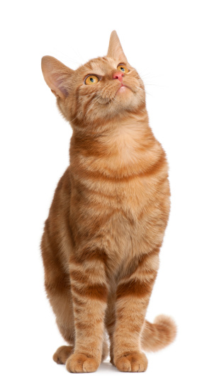 Ginger Cat「Mixed breed cat (6 months old) 」:スマホ壁紙(6)