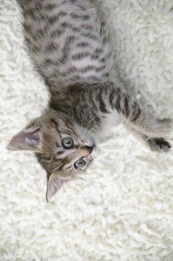 Mixed-Breed Cat「Mixed breed kitten lying on floor」:スマホ壁紙(16)