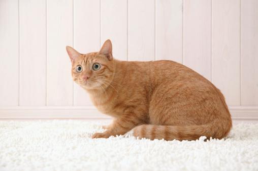 Mixed-Breed Cat「Mixed breed cat sitting」:スマホ壁紙(3)