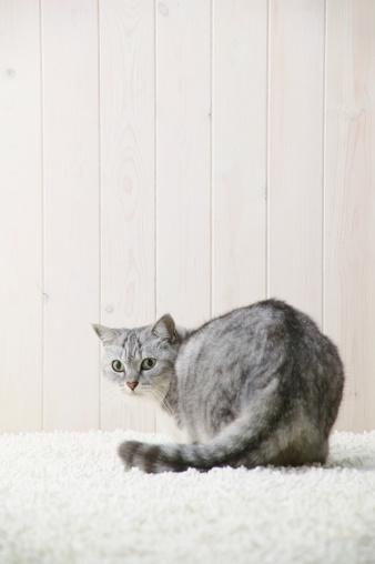 Mixed-Breed Cat「Mixed breed cat looking at camera」:スマホ壁紙(19)