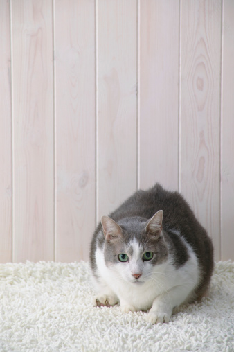 Mixed-Breed Cat「Mixed breed cat looking at camera」:スマホ壁紙(9)