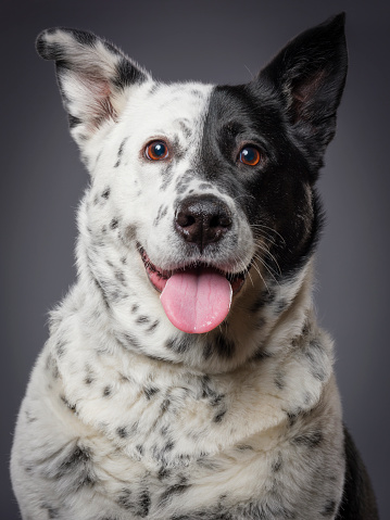 Animal Eye「Mixed Breed Australian Shepherd Blue Heeler Dog」:スマホ壁紙(12)