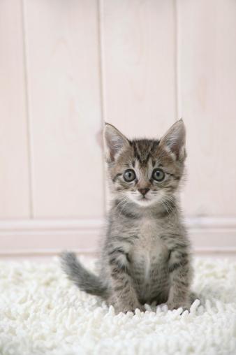 Mixed-Breed Cat「Mixed breed kitten looking at camera」:スマホ壁紙(14)