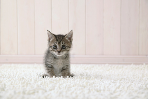 Mixed-Breed Cat「Mixed breed kitten looking at camera」:スマホ壁紙(12)