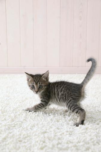 Mixed-Breed Cat「Mixed breed kitten looking at camera」:スマホ壁紙(15)