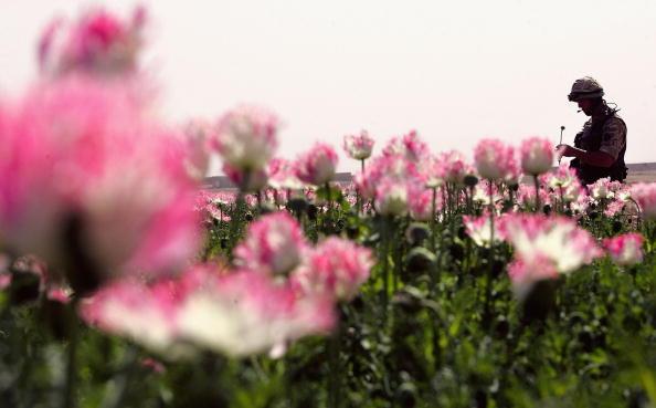 Opium「(FILE) UN Warning Over Afghanistan's Bumper Poppy Crop」:写真・画像(18)[壁紙.com]