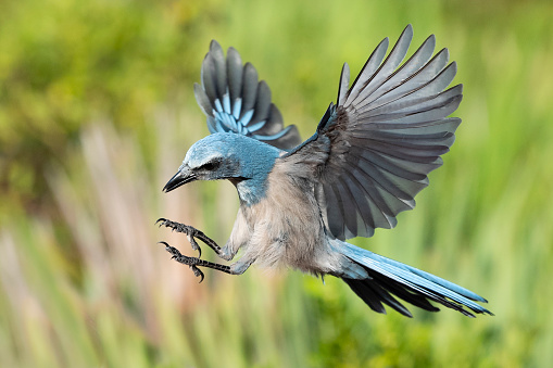 Endangered Species「Florida Scrub Jay, aphelocoma coerulescens, endangered specie, in flight」:スマホ壁紙(2)