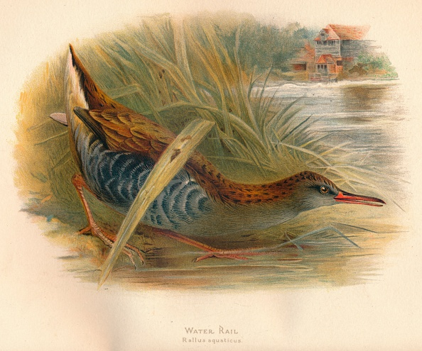 Animal Wildlife「'Water Rail (Rallus aquaticus)', 1900, (1900)」:写真・画像(15)[壁紙.com]
