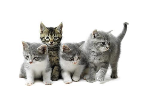 Kitten「Kittens Isolated on White」:スマホ壁紙(1)