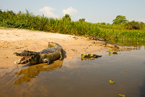 Crocodile「Spectacled Caiman on riverbank in Brazil」:スマホ壁紙(15)