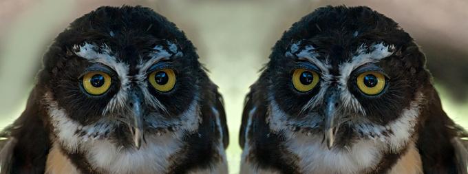 Eyesight「Spectacled Owl, mirror image」:スマホ壁紙(3)