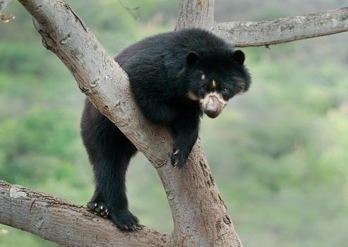 Bolivian Andes「Spectacled Bear (Tremarctos ornatus) Lambayeque Province, Peru」:スマホ壁紙(3)