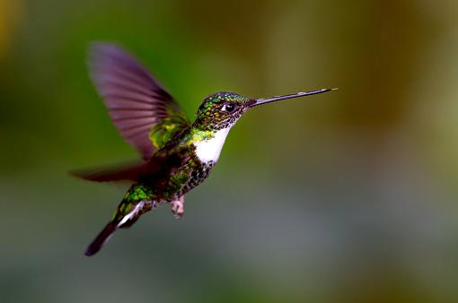 Animal Wildlife「Flying Hummingbird」:スマホ壁紙(5)