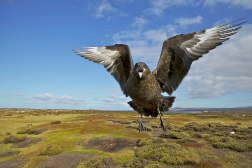 Falkland Islands「Skua, Catharacta antarctica, attack in flight, Falkland Islands」:スマホ壁紙(5)