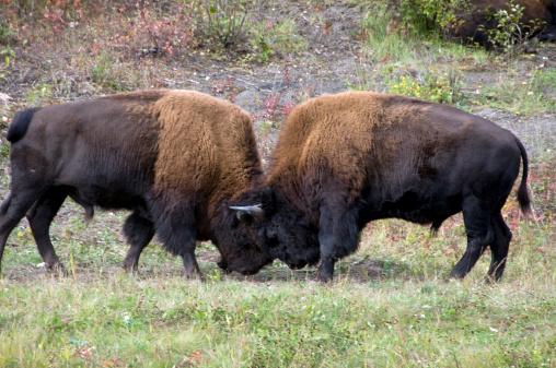 Battle「Two bull wood bison fighting (bison athabascae).」:スマホ壁紙(3)