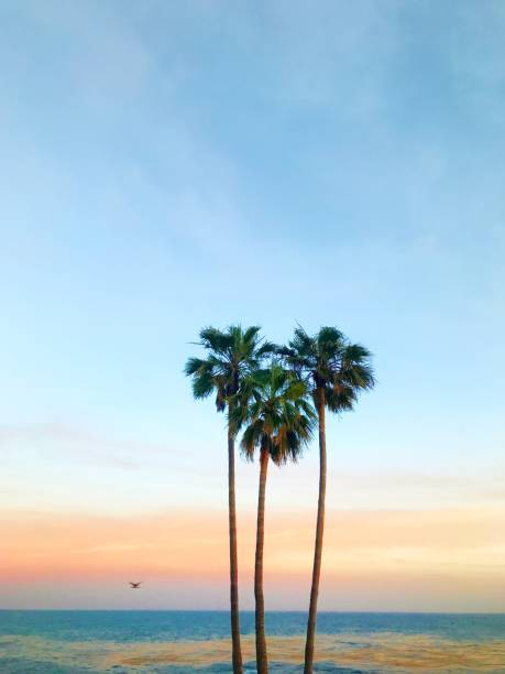 Three palm trees in the shape of a heart, Laguna Beach, Orange County, California, America, USA:スマホ壁紙(壁紙.com)
