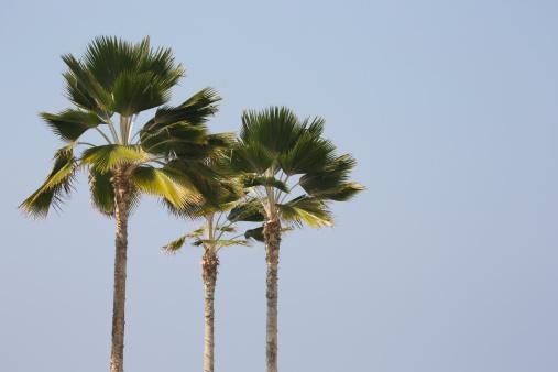 ヤシ「Three palm trees, Hawaii」:スマホ壁紙(19)