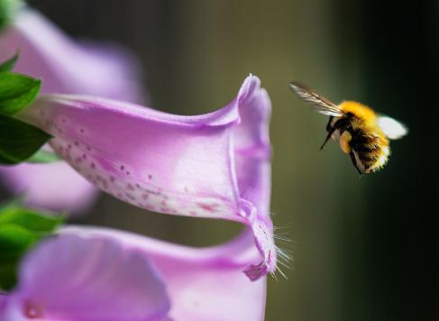 Approaching「Bumblebee flying into foxglove flower」:スマホ壁紙(19)