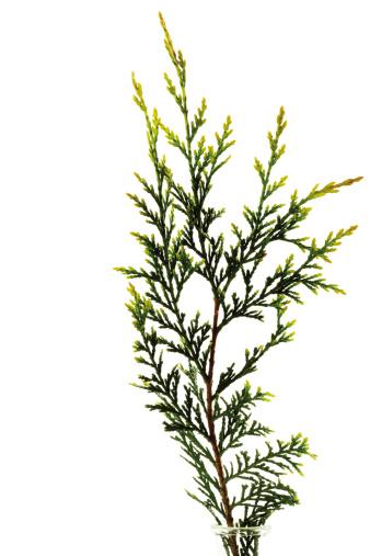 Cypress Tree「Branch of leyland cypress (Cupressus leylandii), close-up」:スマホ壁紙(17)