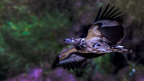 Lake Baringo「Immature african fish eagle in flight over lake Baringo.」:スマホ壁紙(16)
