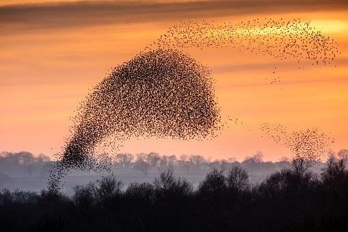 Flock Of Birds「Flocks (murmurations) Of Starlings; (Species: Sturnus vulgaris; Family: Sturnidae; Order: Passeriformes).」:スマホ壁紙(16)
