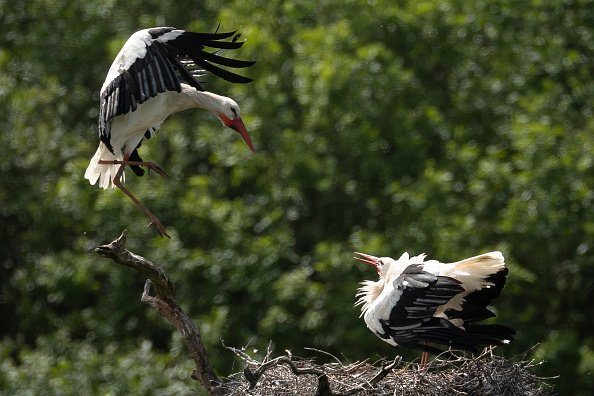Animal Themes「Wild White Stork Chicks Hatch In UK For First Time In Centuries」:写真・画像(5)[壁紙.com]