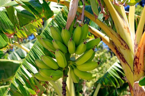 Honduras「Bananas growing on tree.」:スマホ壁紙(6)